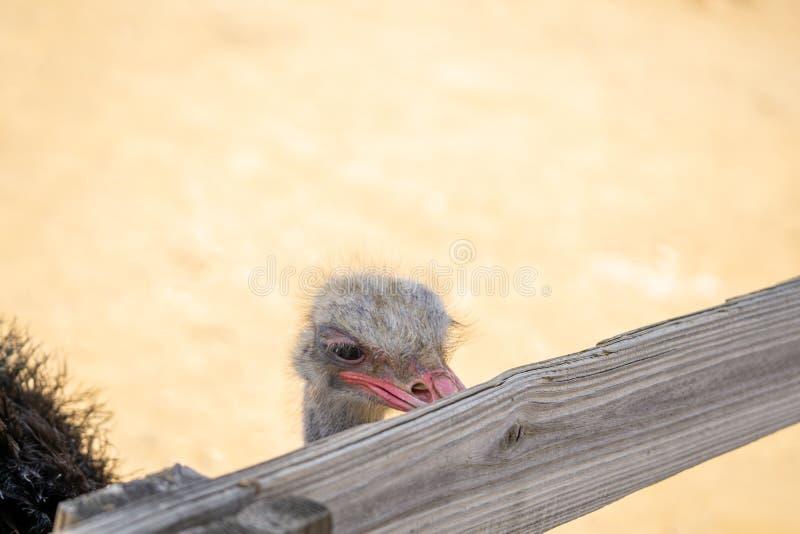 Ostrich pikante omheining stock afbeeldingen