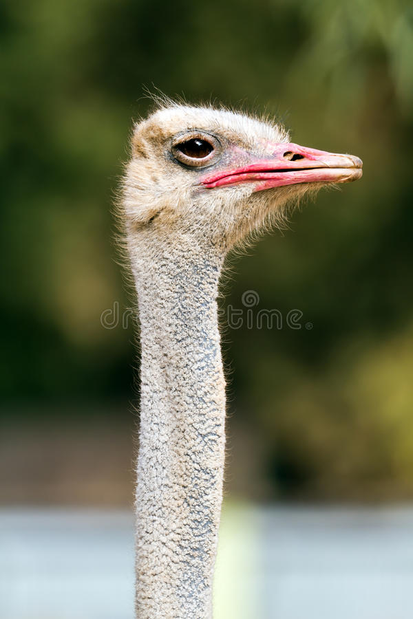 Download Ostrich Portrait Royalty Free Stock Photos - Image: 22561188