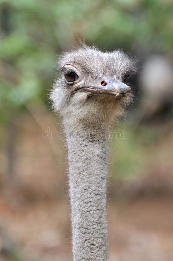 An Ostrich Portrait Stock Image