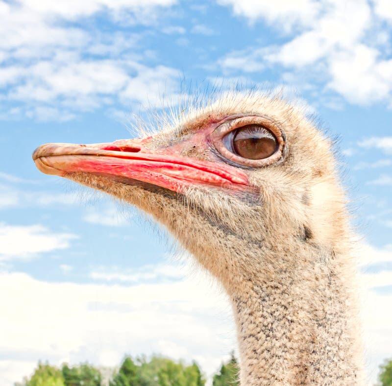 Download Ostrich portrait stock photo. Image of avian, bird, closeup - 27672694