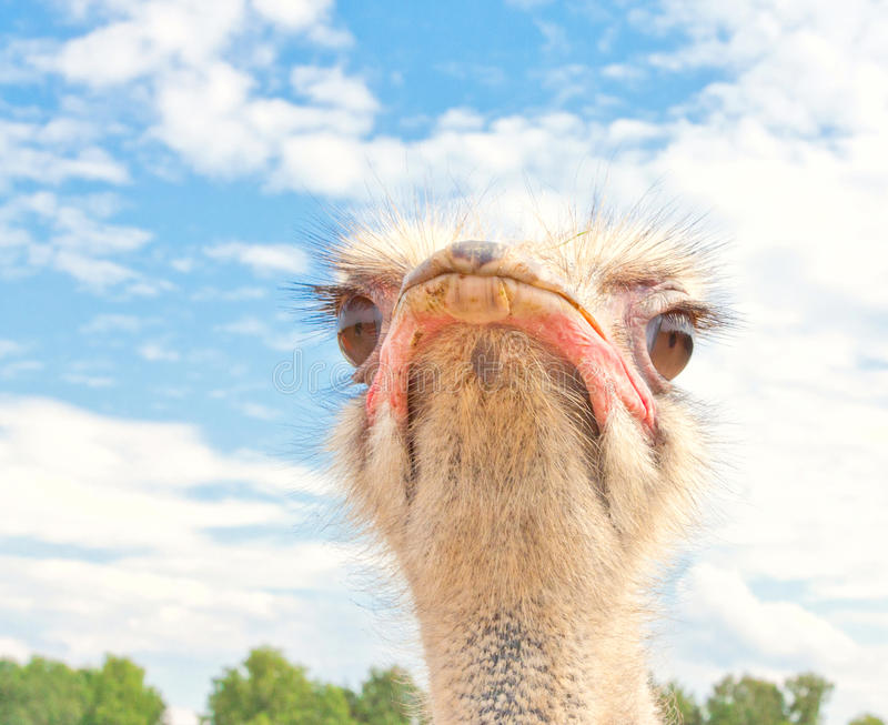 Download Ostrich portrait stock photo. Image of fowl, face, gaze - 27672710