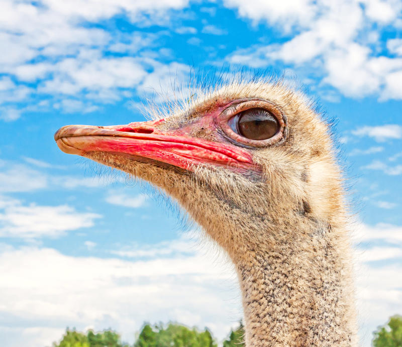 Download Ostrich portrait stock image. Image of up, clouds, animal - 27672713