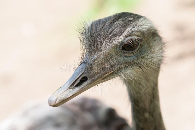Ostrich Portrait Free Public Domain Cc0 Image
