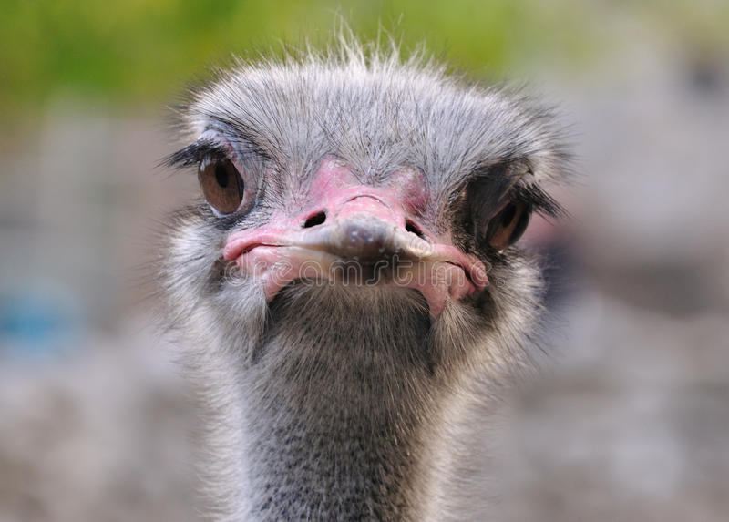Ostrich portrait. In Belgrade zoo... The ostrich is specie of large flightless birds native to Africa... Ostriches usually weigh from 63 to 145 kilograms (139 royalty free stock photo