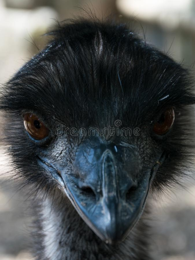 Ostrich portrait royalty free stock images