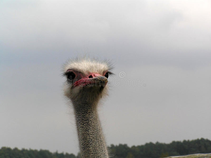 Ostrich. Posed dangerous large specimen ostrich royalty free stock photos