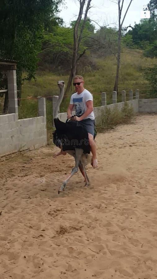 Ostrich riding. Near the fairy stream in Mui Ne Vietnam stock photo
