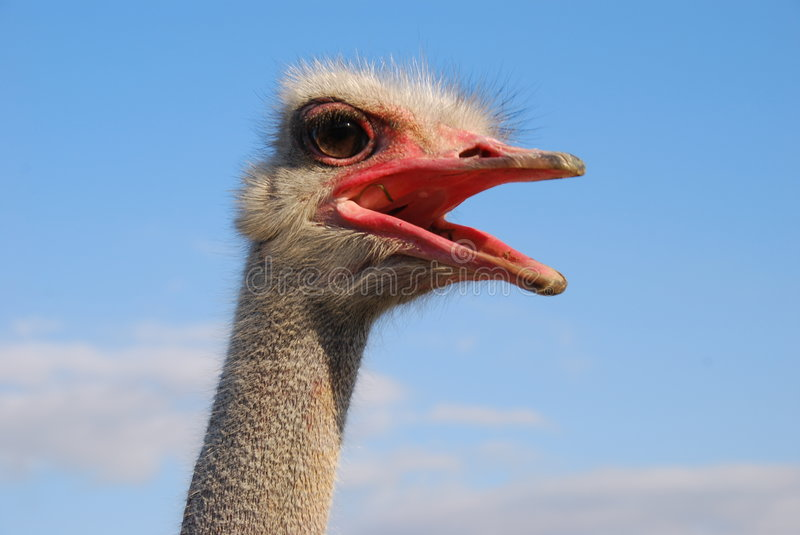 Ostrich's emotions. Emotions of a funny ostrich close up stock photography