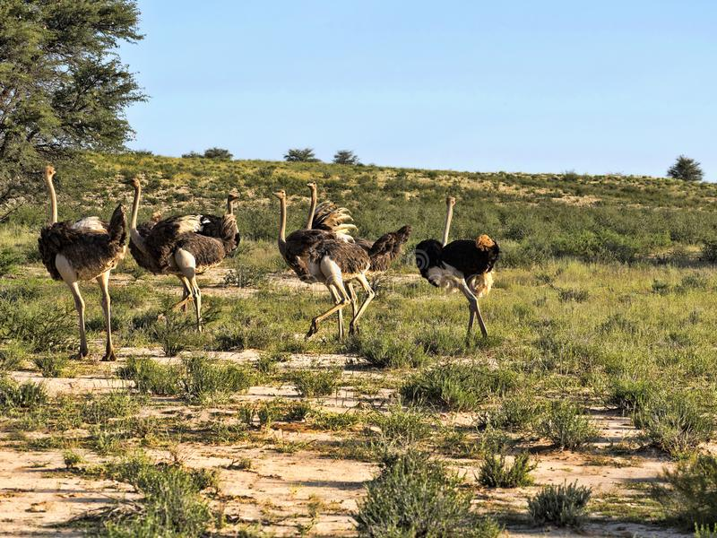 Ostrich, Struthio camelus, in the blooming desert, Kalahari, South Africa. The Ostrich, Struthio camelus, in the blooming desert, Kalahari, South Africa royalty free stock photo