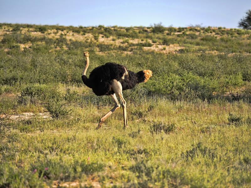 Ostrich, Struthio camelus, in the blooming desert, Kalahari, South Africa. One Ostrich, Struthio camelus, in the blooming desert, Kalahari, South Africa royalty free stock photo