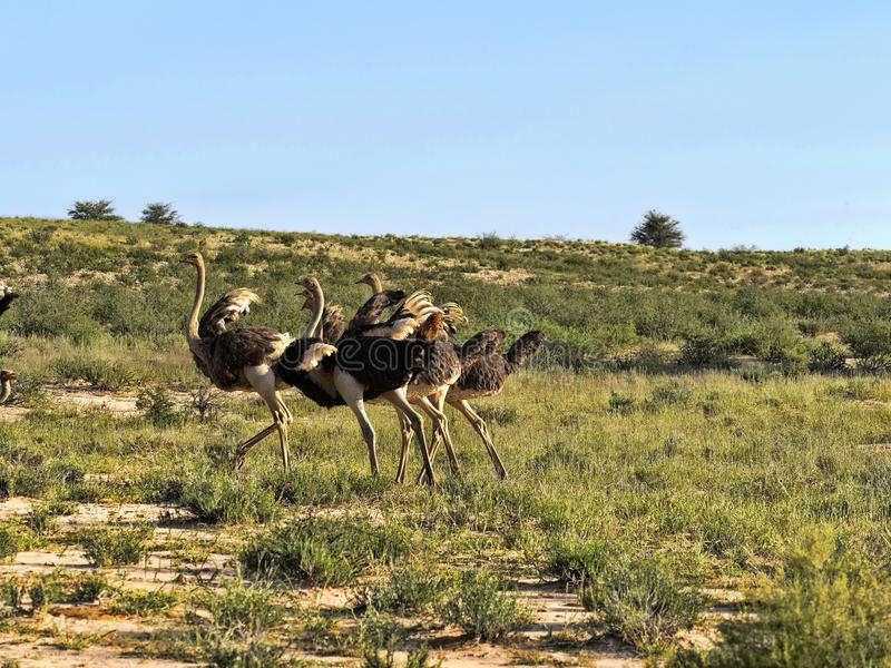 Ostrich, Struthio camelus, in the blooming desert, Kalahari, South Africa. One Ostrich, Struthio camelus, in the blooming desert, Kalahari, South Africa stock photos