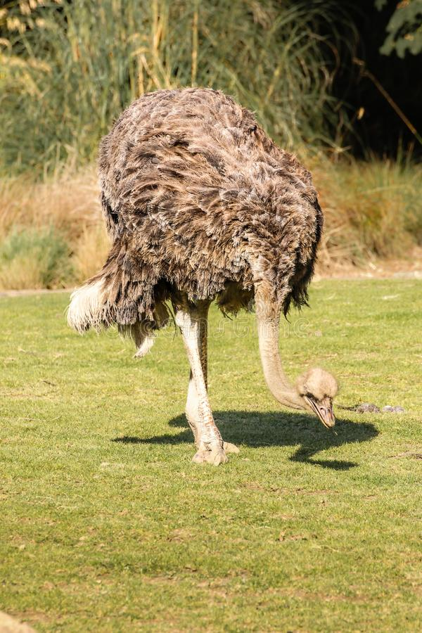 Ostrich. Dublin zoo. Ireland. Ostrich. Struthio camelus . Dublin zoo. Ireland royalty free stock image