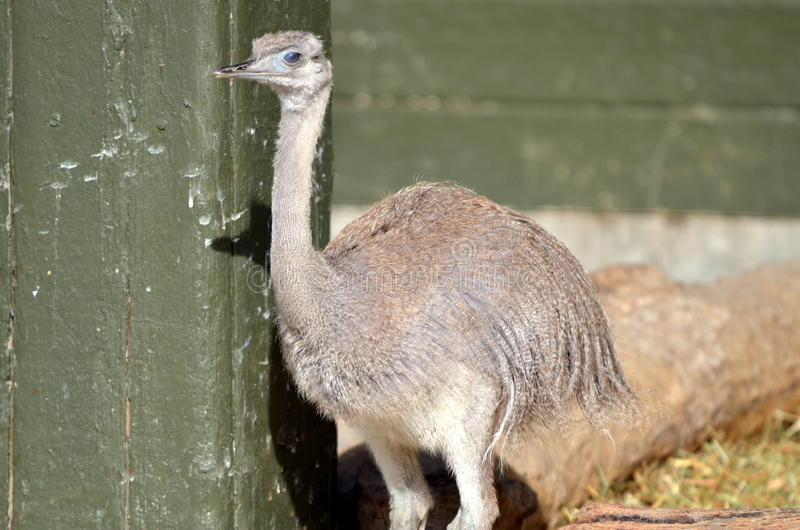 Download Ostrich stock photo. Image of australia, bird, park, african - 34323330