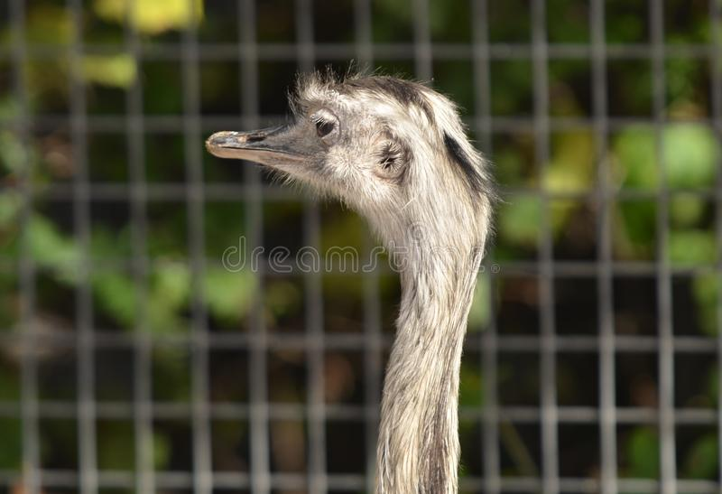 Download Ostrich Royalty Free Stock Photo - Image: 34323455