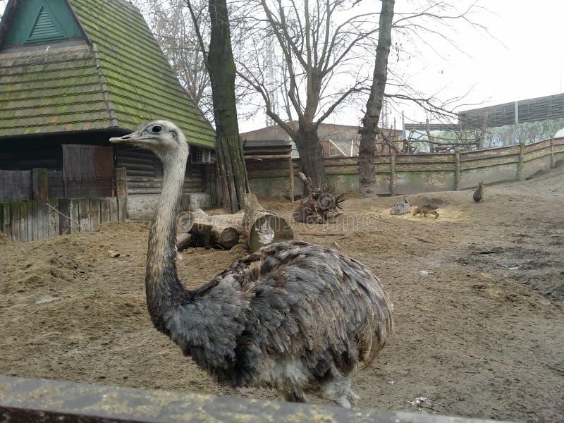Ostrich in una nebbia giornata d'autunno immagini stock