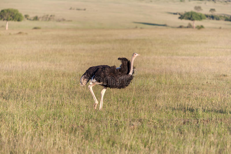 Ostrich walking on savanna in Africa. Safari. In Amboseli, Kenya royalty free stock images