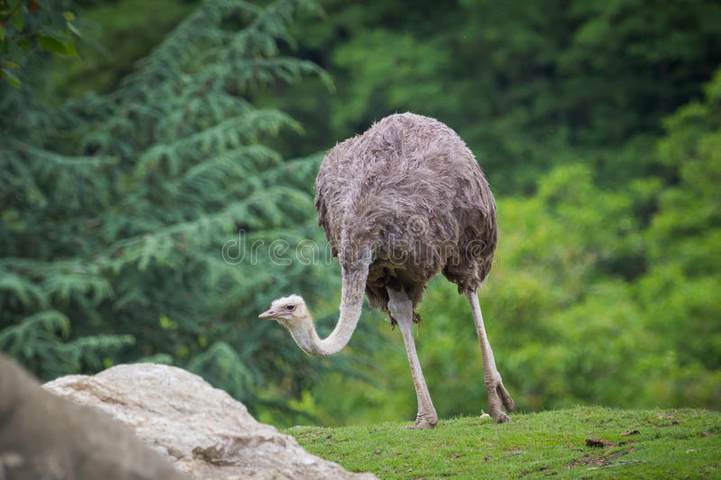 Ostrich walking royalty free stock photos