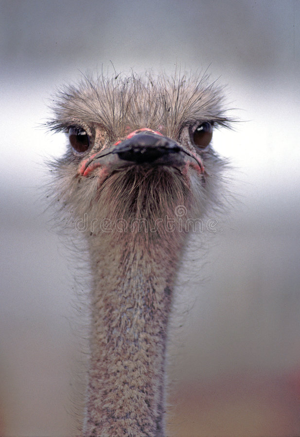 Free Ostrich With Attitude Stock Image - 4108121
