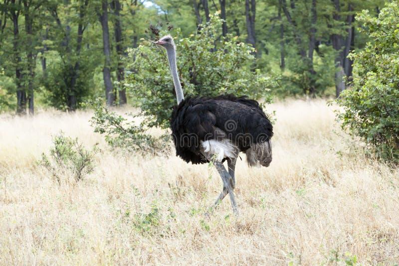 Ostrich - struthio camelus -, Africa stock photos