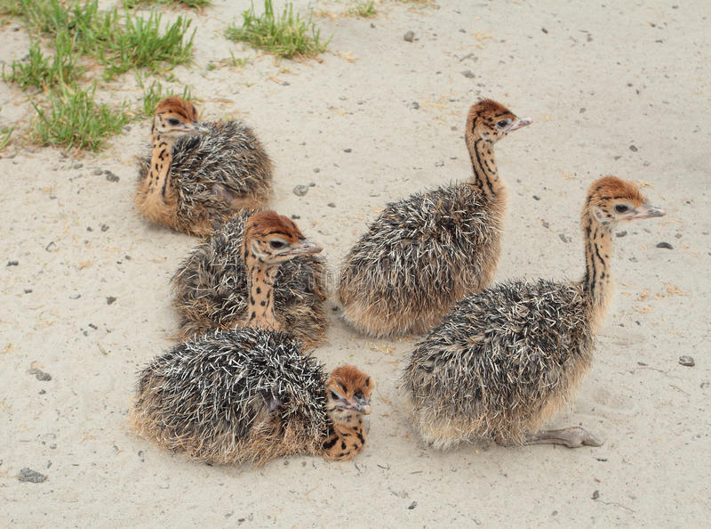ostrichbarn fotografering för bildbyråer
