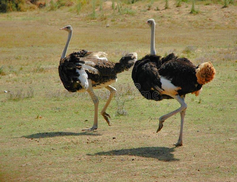 Ostriches stock photos