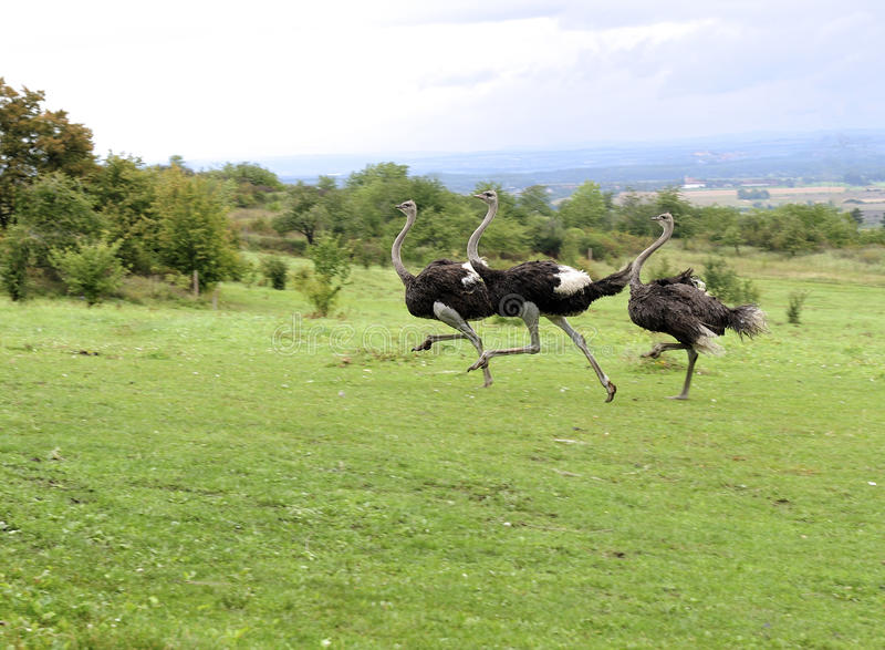 Ostriches royalty free stock photography