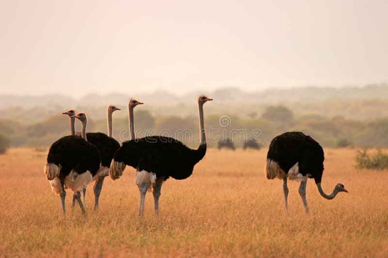 Ostriches. (Struthio camelus) in early morning light, Marakele National Park, South Africa