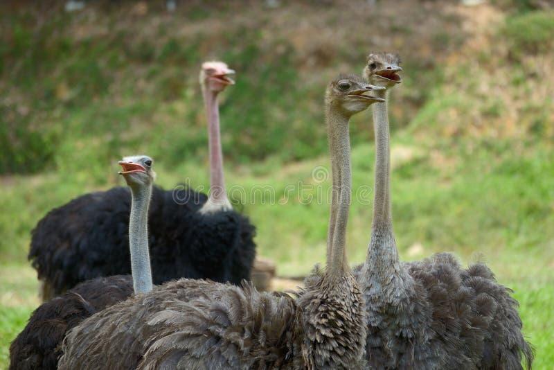 ostriches stock afbeeldingen
