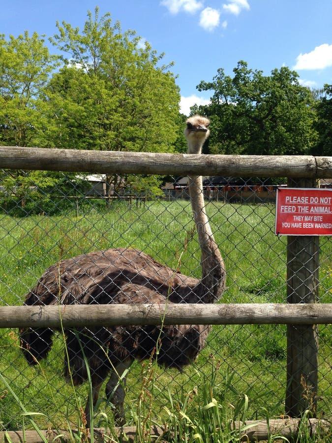 ostriches royaltyfri bild