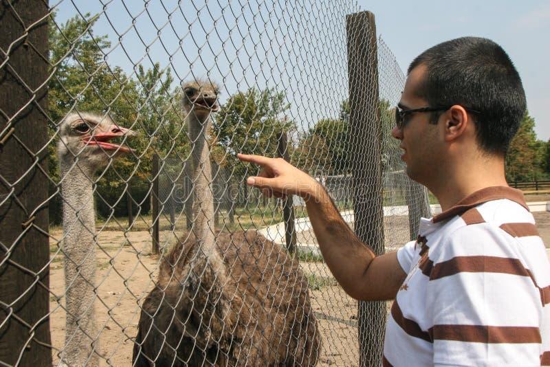 ostriches fotografering för bildbyråer