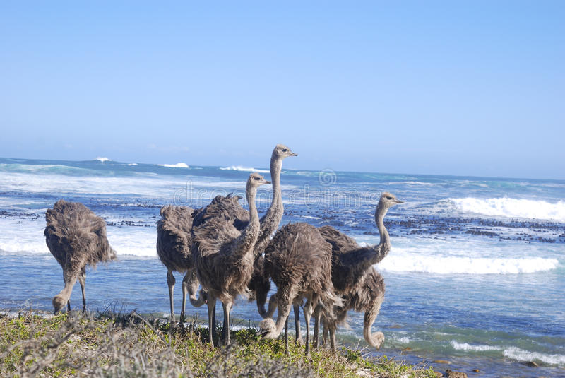 Ostriches grazing by the sea at cape point closeup stock photography
