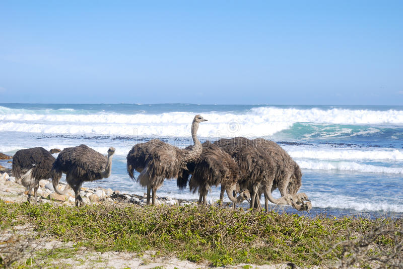 Ostriches grazing by the sea at cape point stock image