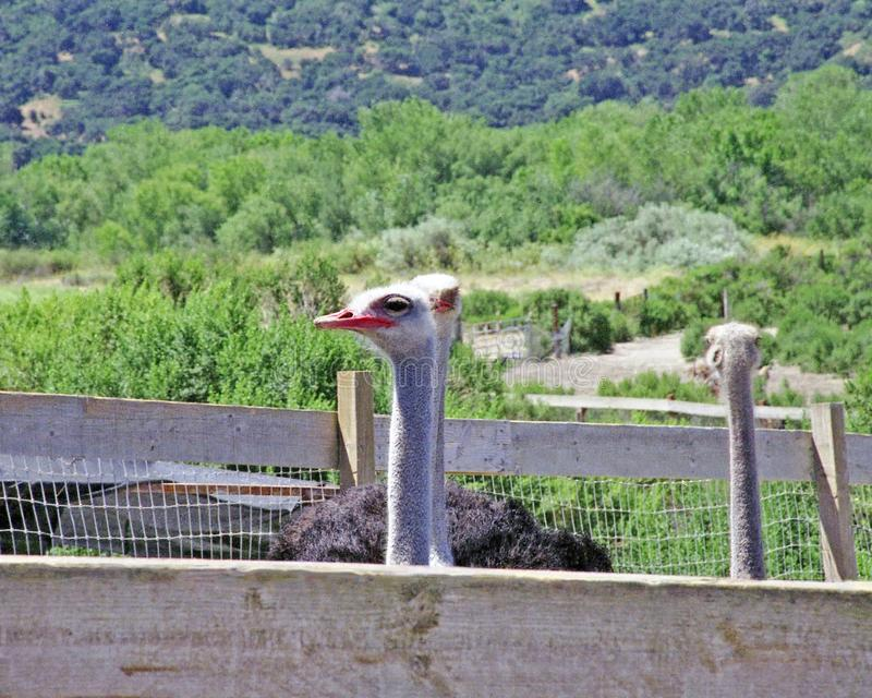 Ostriches In A Pen For Tourists To Feed royalty free stock image