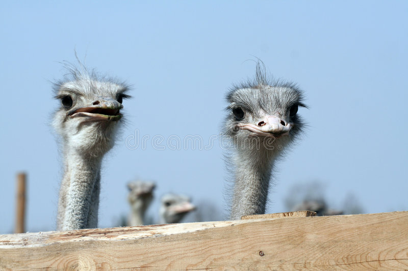 Ostriches looking over fence