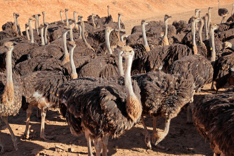 Download Ostriches Royalty Free Stock Photography - Image: 37072957