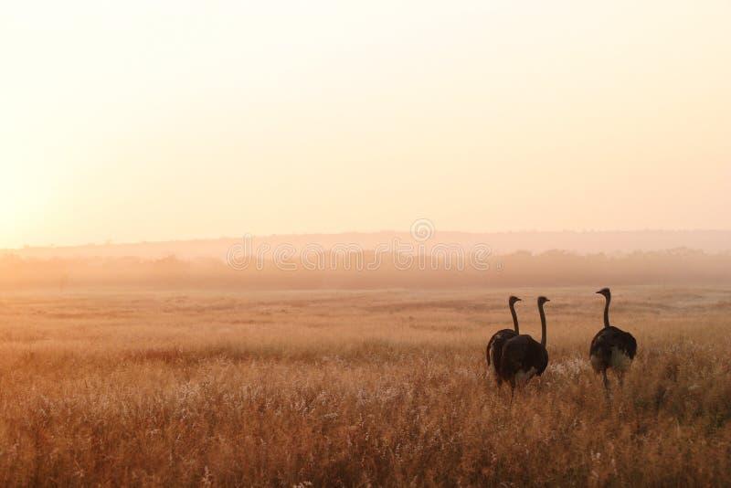 Ostriches Tre Arkivfoton
