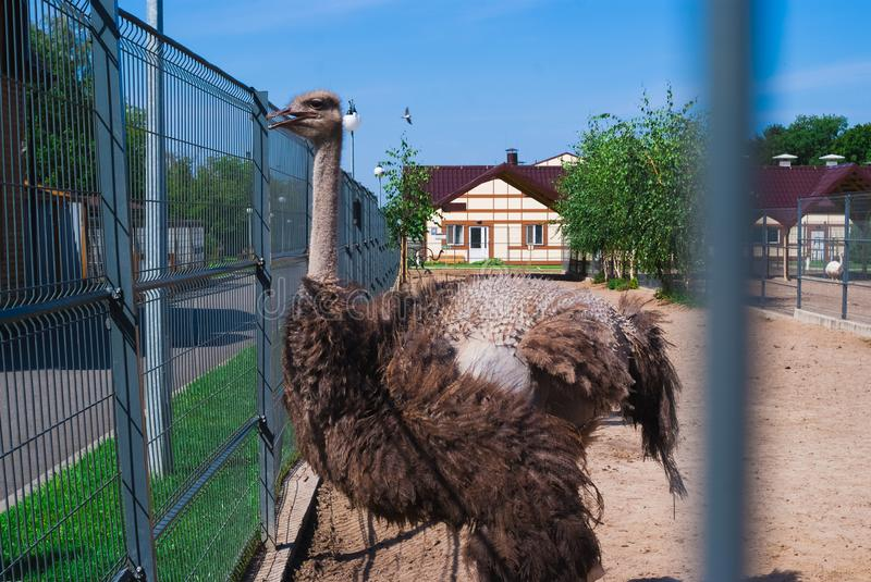 Ostriches in a zoo, an ostrich farm, an ostrich in an urban environment. Summer day. Ostriches in a zoo, an ostrich farm, an ostrich in an urban environment stock images