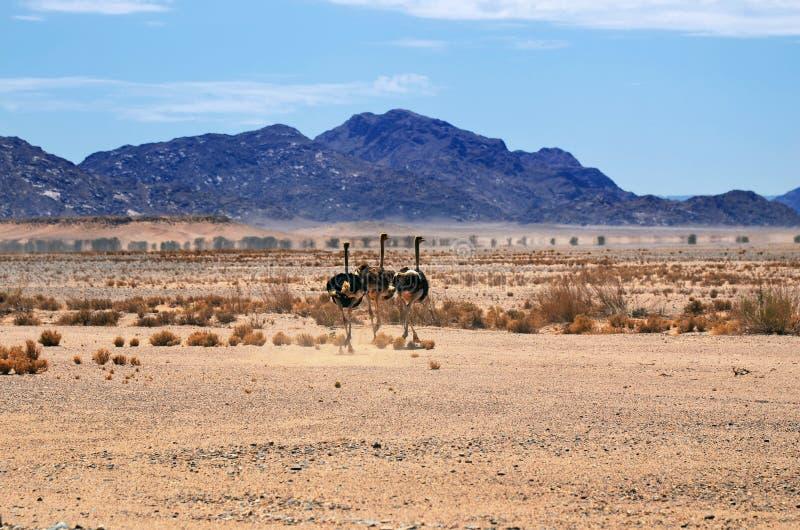 Ostrichs, Namibie, Afrique image libre de droits