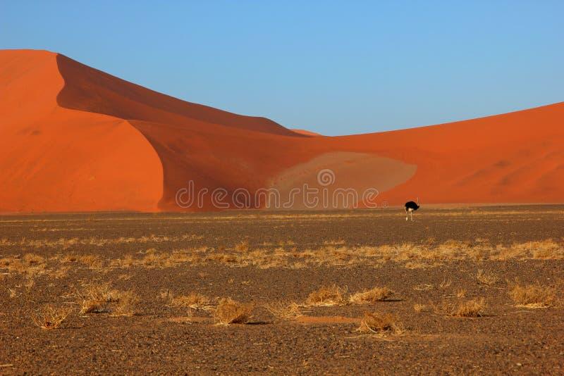 Ostrish在沙漠,纳米比亚 免版税图库摄影