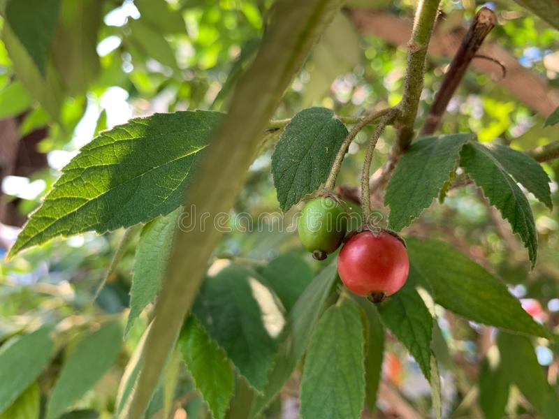 Ostrość czerwona owoc Calabura na drzewie, dżemu drzewo, Jamajska wiśnia, Malayan wiśnia, Zachodnia Indiańska wiśnia, Muntingia c fotografia royalty free