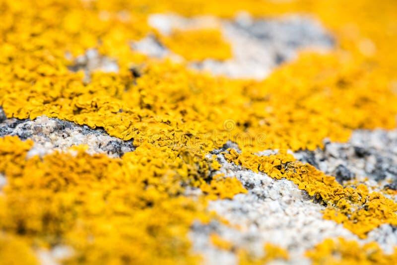 Ostrość piękny żółty oceanu mech dorośnięcie na szarość kamieniu zdjęcia royalty free