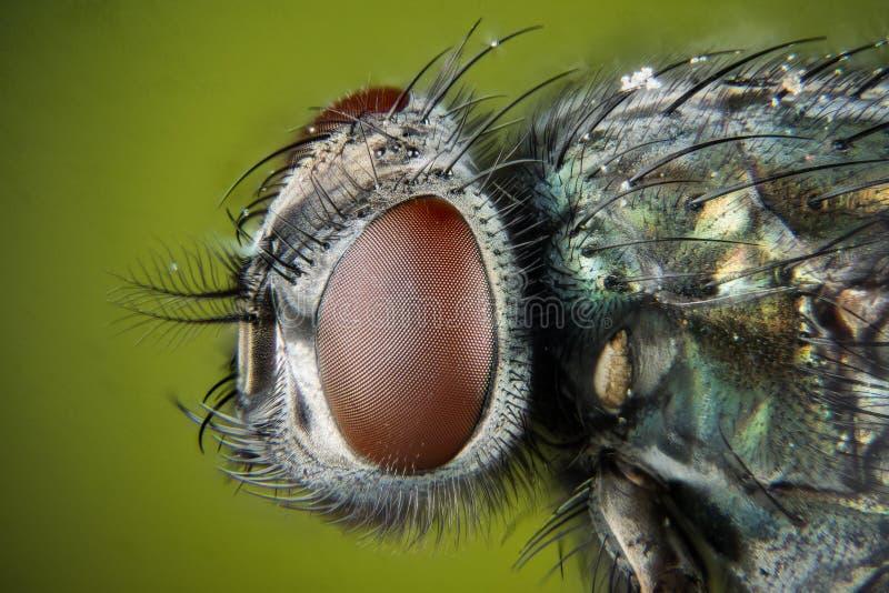 Ostrości sztaplowanie - błonie zieleni butelki komarnica, Greenbottle komarnica, Lata obrazy stock