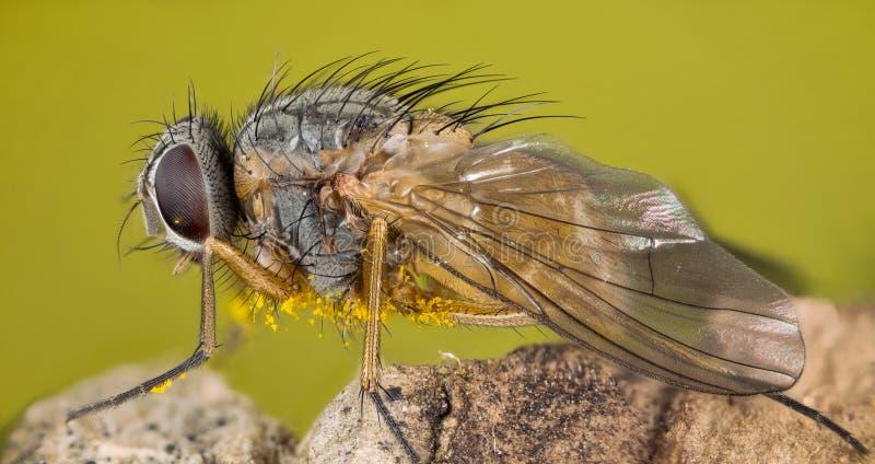Ostrości sztaplowanie - komarnica, komarnicy zdjęcie royalty free
