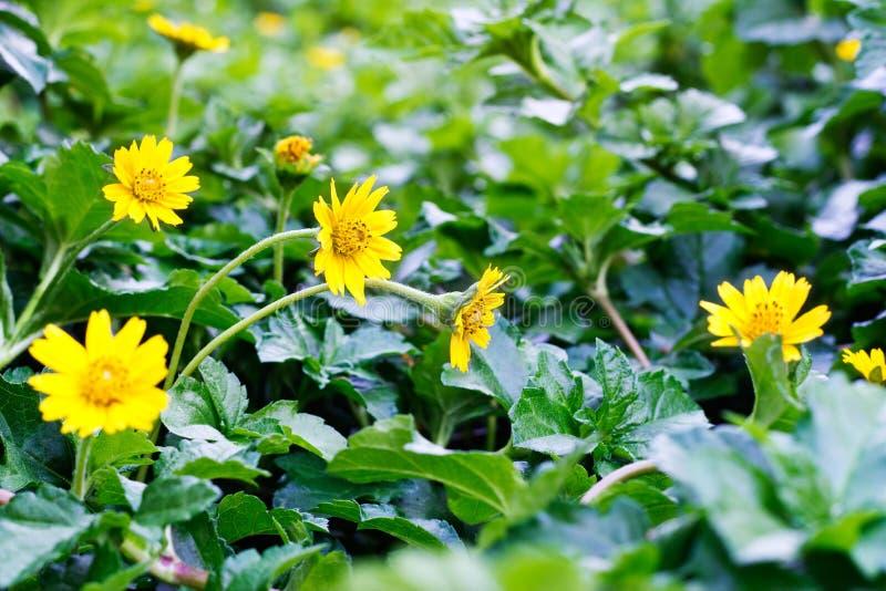Ostrości zakończenie kolor żółty kwitnie na polu kwiaty zdjęcia stock