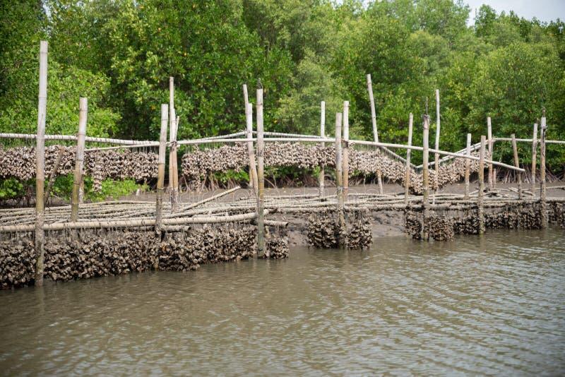 Ostronlantgård i mangroveskogområde på Chanthaburi, Thailand En av den bästa turist- dragningen i Thailand royaltyfri bild