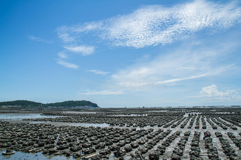 Ostrygi gospodarstwa rolnego zakazu Ang Sila zdjęcie royalty free