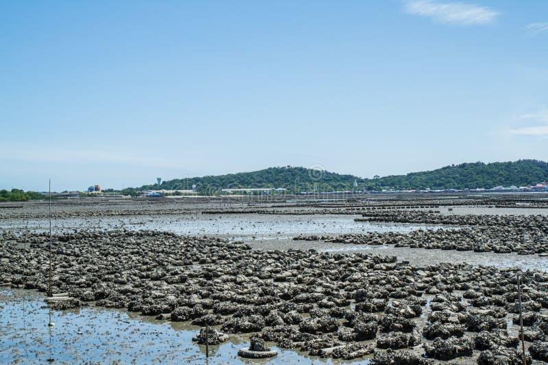 Ostrygi gospodarstwa rolnego zakazu Ang Sila zdjęcie stock