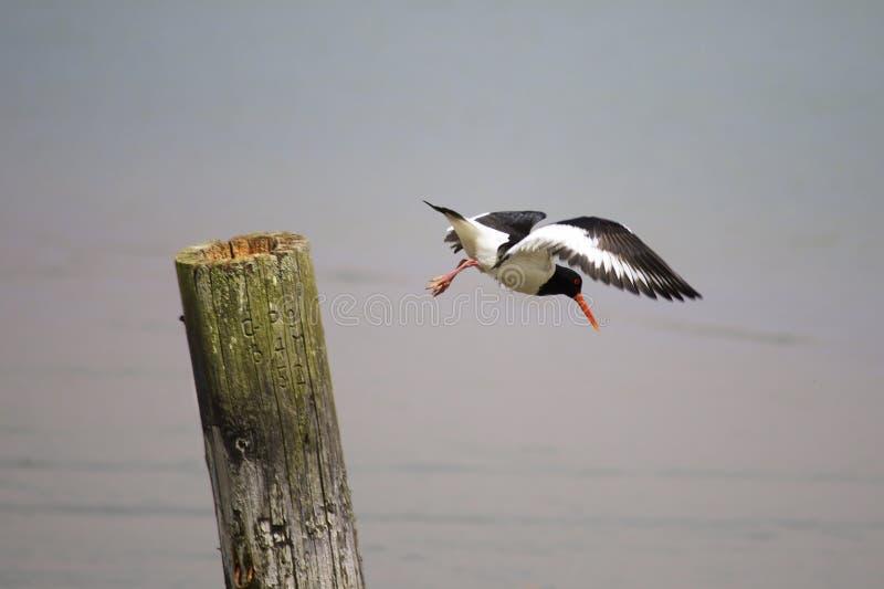 Ostrygowy łapacz bierze daleko obrazy stock