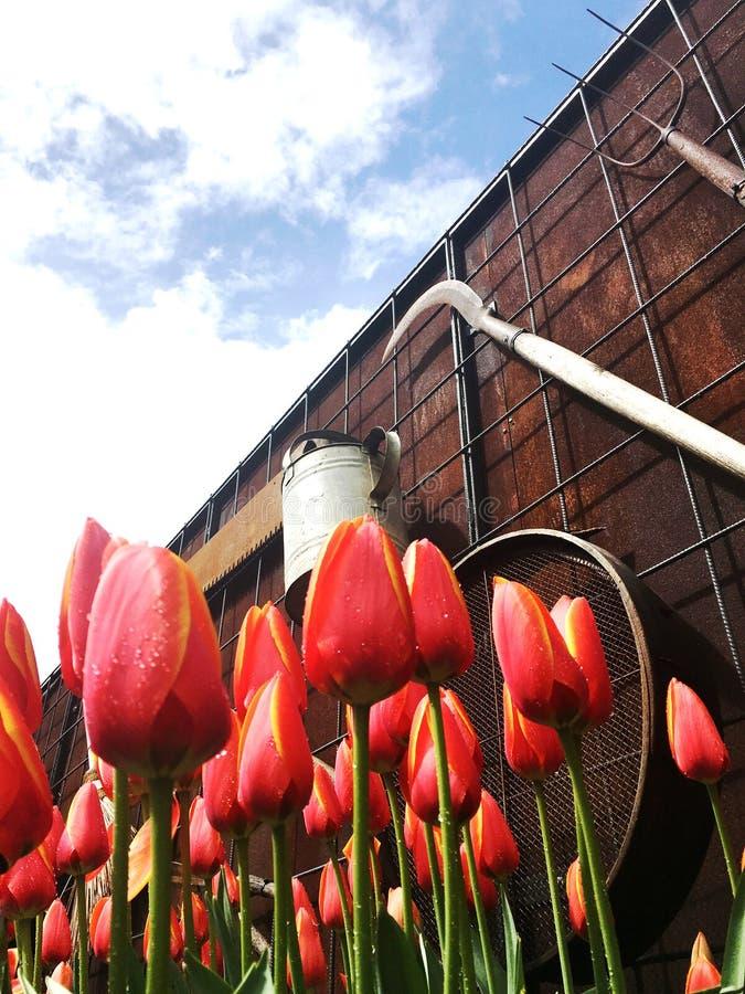 Ostrzałów tulipany pod niebieskim niebem zdjęcia stock