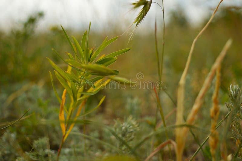 Ostrze trawa na zielonej łące obrazy stock
